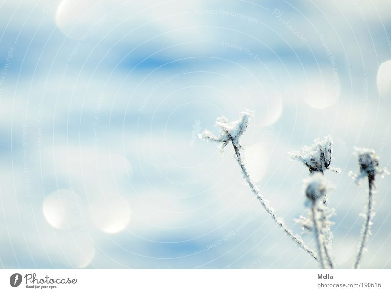 Nature White Flower Plant Winter Calm Cold Grass Ice Glittering Weather Environment Frost Climate Light Pure
