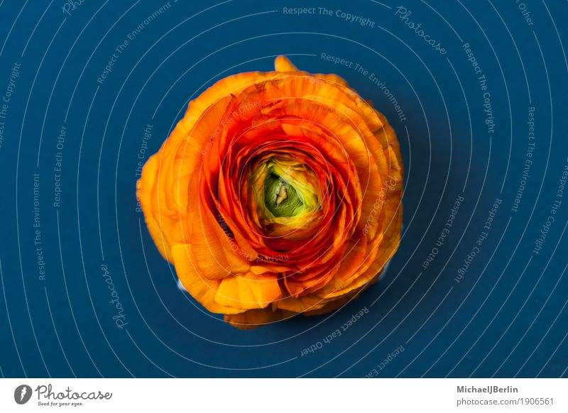 Orange buttercup blossom from above on blue background Beautiful Nature Spring Flower Blossom Blue Botany colored Natural Workshop Colour photo Isolated Image