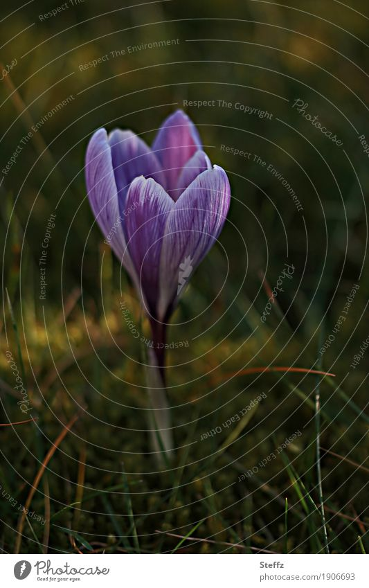 Nature Plant Green Beautiful Spring Grass Garden Park Beginning Blossoming Violet New Anticipation Spring fever Wild plant Crocus