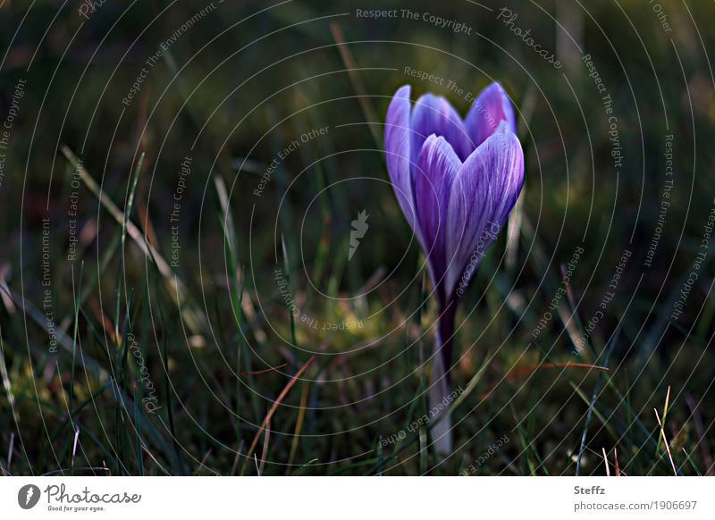 Nature Plant Beautiful Flower Blossom Spring Garden Growth Beginning Blossoming Sign Violet New Anticipation Spring fever Crocus
