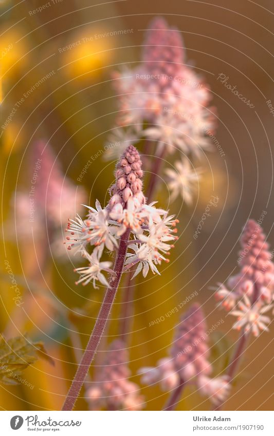 Messengers of spring - foam flowers (Tiarella) Nature Plant Spring Flower Blossom Agricultural crop Wild plant Pot plant Exotic foam blossoms tiarella