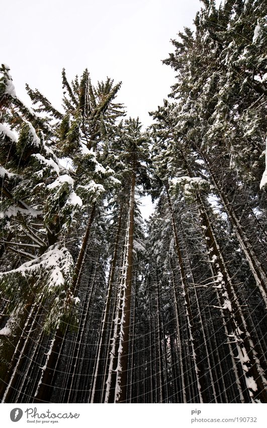 peak search Nature Winter Bad weather Ice Frost Snow Tree Spruce Fir tree Pine Coniferous trees Spruce forest Forest Large Creepy Bright Tall Cold Gray Black