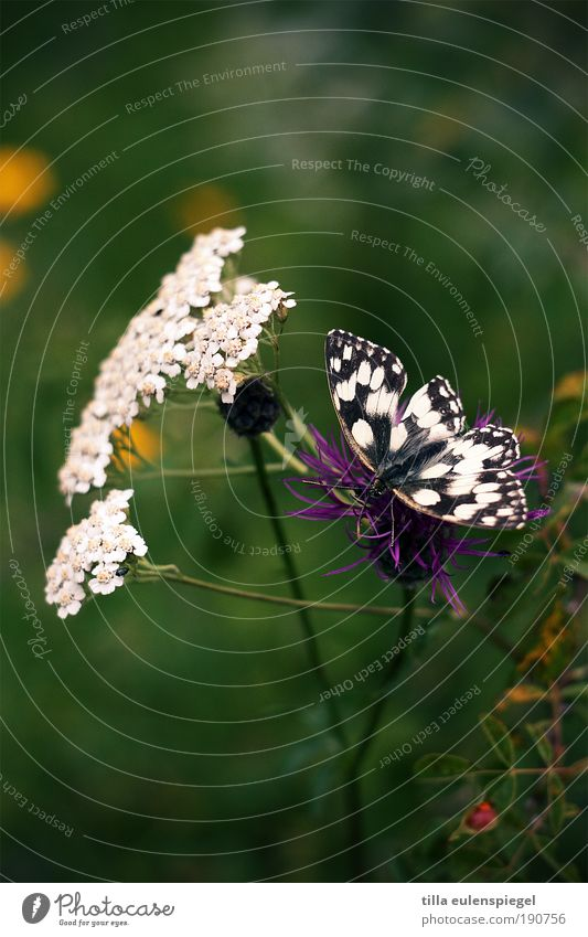fluttering imprisonment Nature Plant Summer Flower Blossom Meadow Wild animal Butterfly Wing 1 Animal Blossoming Discover Sit Natural Beautiful Green Idyll