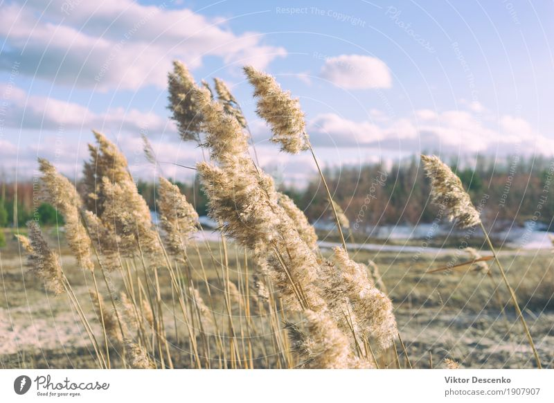 Yellow reed brushes Beautiful Sun Beach Ocean Winter Nature Landscape Plant Sand Sky Horizon Wind Grass Leaf Forest Coast Baltic Sea Lake Natural Blue Brown