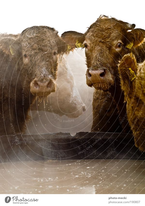 the giants Water Farm animal Cow Animal face Pelt 2 4 Group of animals Pair of animals To feed Feeding To enjoy Looking Exceptional Cool (slang) Dirty Fluid