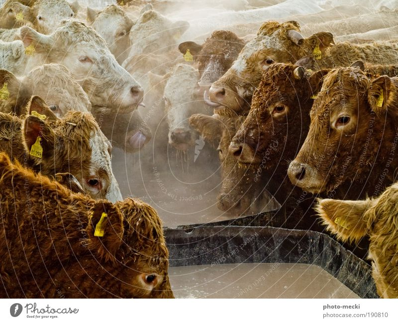 feast party Animal Farm animal Cow Group of animals Herd To feed Feeding To enjoy Exceptional Dirty Together Happy Wet Rebellious Slimy Wild Brown Yellow Black