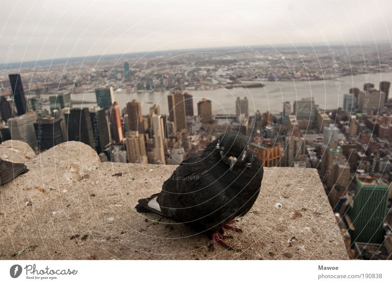 Animal Concrete High-rise Perspective Animal face Wing Wild animal Skyline Navigation Landmark Pigeon New York City Tourist Attraction Empire State building