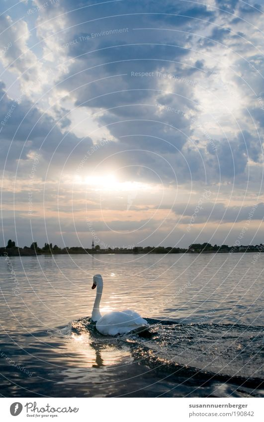 Swan Nature Water Sky Horizon Sunrise Sunset Summer Beautiful weather Lake Animal Wild animal Wing 1 Free Blue Yellow White Moody Contentment Peaceful Calm