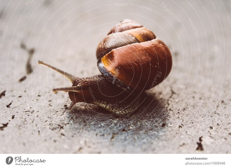 Snail on stone floor Nature Animal Sun Wild animal 1 Running Observe Movement Carrying Esthetic Glittering Beautiful Near Slimy Brown Power Safety Protection