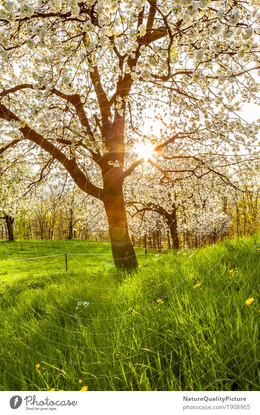 cherry tree Fruit Wellness Life Harmonious Well-being Contentment Senses Relaxation Calm Meditation Fragrance Adventure Hiking Environment Nature Landscape