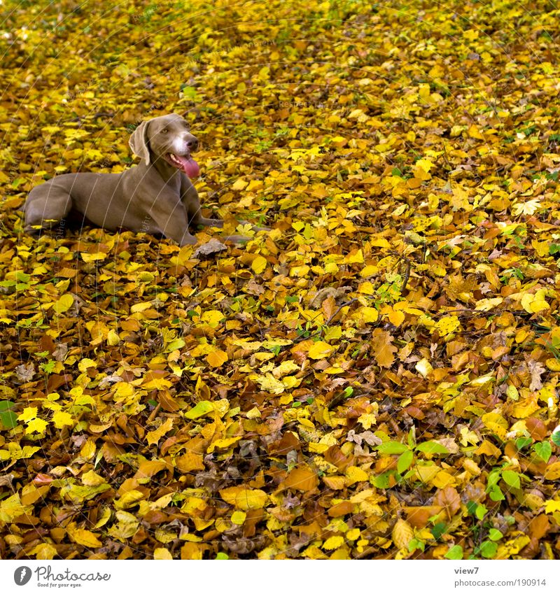 900 leaves and a dog Nature Autumn Park Animal Pet Dog Animal face 1 Exceptional Authentic Simple Elegant Large Brown Happy Contentment Patient Esthetic