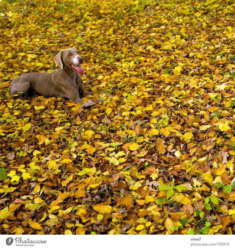 Nature Leaf Animal Yellow Far-off places Relaxation Autumn Happy Dog Park Contentment Brown Wait Elegant Large Esthetic