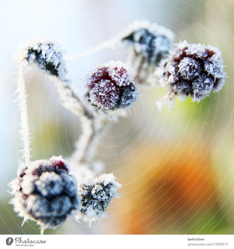 blackberry sorbet Nature Plant Autumn Winter Ice Frost Snow Bushes Fruit Blackberry Garden Freeze Beautiful Cold Freeze to death Transience Spider's web