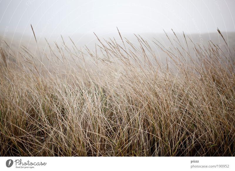 Nature Plant Yellow Grass Landscape Coast Fog Gloomy Natural Dry Sylt