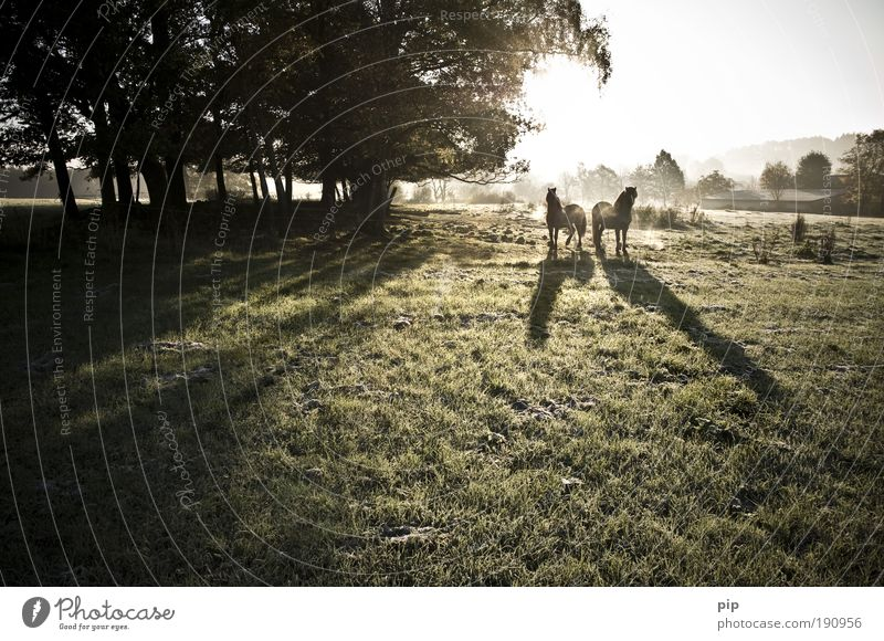 morgan dew Ride Landscape Sun Sunlight Autumn Beautiful weather Fog Tree Grass Meadow Hoar frost Horse Bangs Pack animal 2 Animal Pair of animals Free Fresh