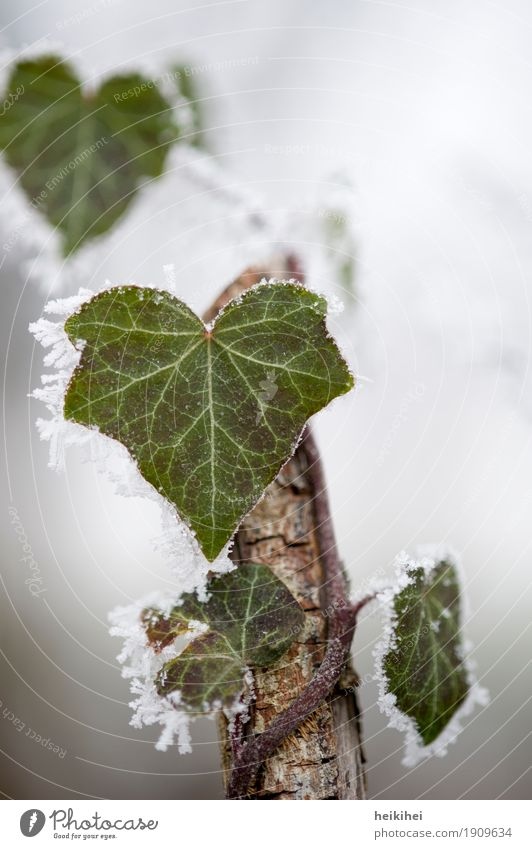 cold outside Environment Nature Plant Animal Winter Lightning Ice Frost Snow Bushes Ivy Leaf Creeper Garden Park Forest Deserted Drop Brown Gray Green White