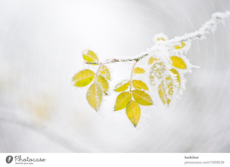 freezing Nature Plant Animal Winter Ice Frost Snow Leaf Garden Park Freeze Yellow Gold Gray Green White Loneliness Transience Branch Twigs and branches Tree