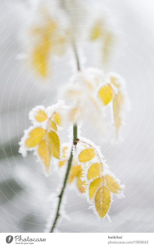 frozen IV Environment Nature Plant Winter Ice Frost Snow Bushes Leaf Foliage plant Garden Cool (slang) Cold Natural Yellow Gray Green White Beautiful