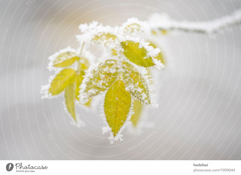freezing Environment Nature Plant Winter Ice Frost Snow Bushes Leaf Foliage plant Garden Cool (slang) Cold Natural Yellow Gray Green White leaves Colour photo