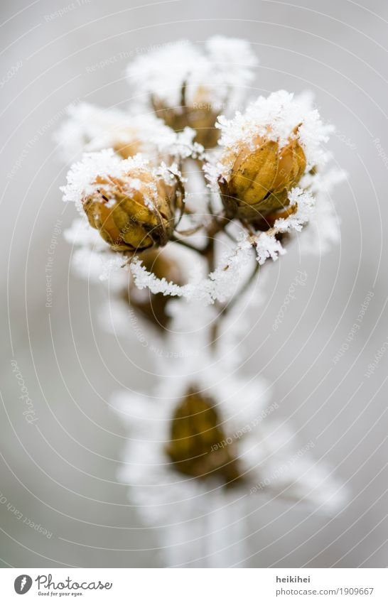 snowflower Nature Plant Animal Winter Ice Frost Snow Tree Flower Bushes Blossom Garden Park Authentic Natural Brown Yellow Gold Gray Growth Delicate Leaf