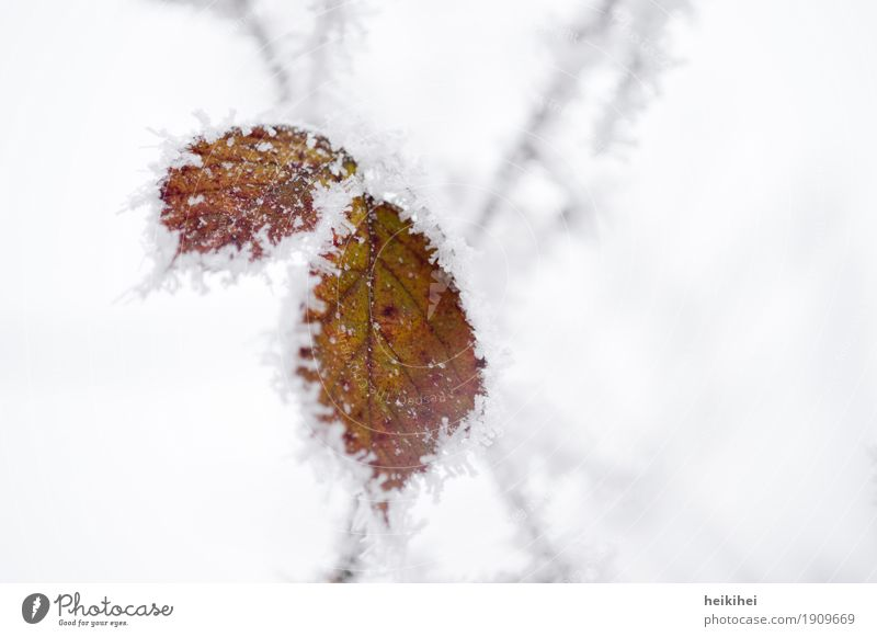 iced Environment Nature Plant Animal Winter Ice Frost Snow Leaf Garden Park Forest Authentic Cold Brown Gray Green Black White Bizarre Loneliness Uniqueness