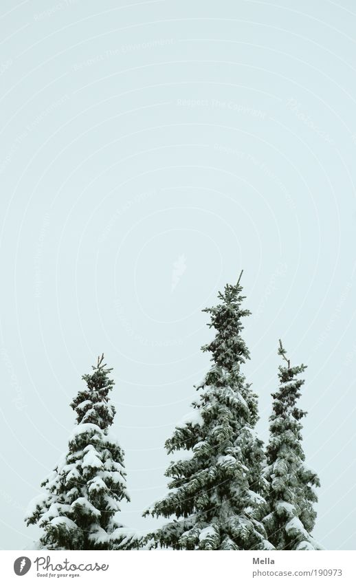 Three Environment Nature Landscape Plant Sky Winter Climate Climate change Weather Ice Frost Snow Tree Fir tree Cold Natural Calm Covered Colour photo