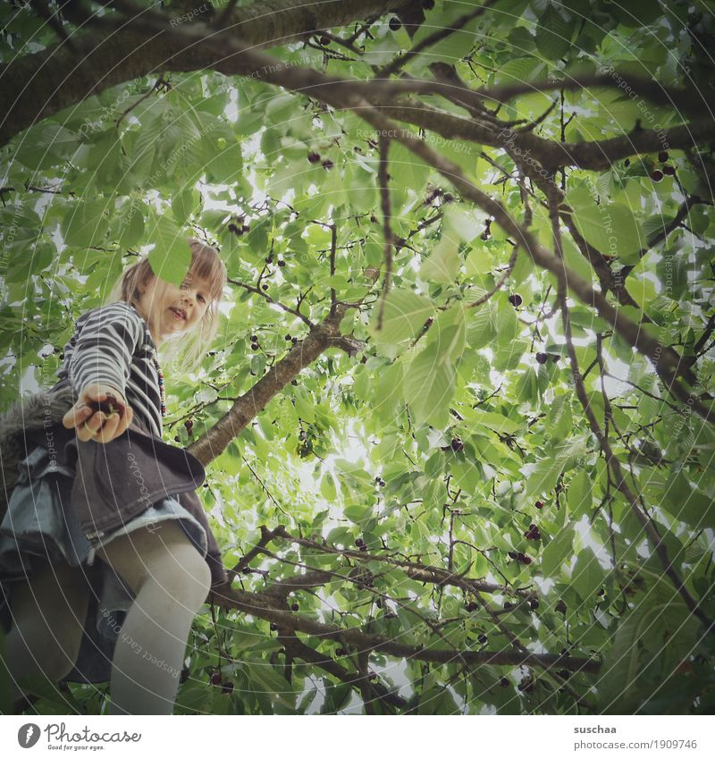 cherry picking II Child Girl Tree Branch Leaf Summer Fruit trees Harvest Pick Climbing Cherry Cherry tree Infancy Hand Give Fruit garden Nature in the country