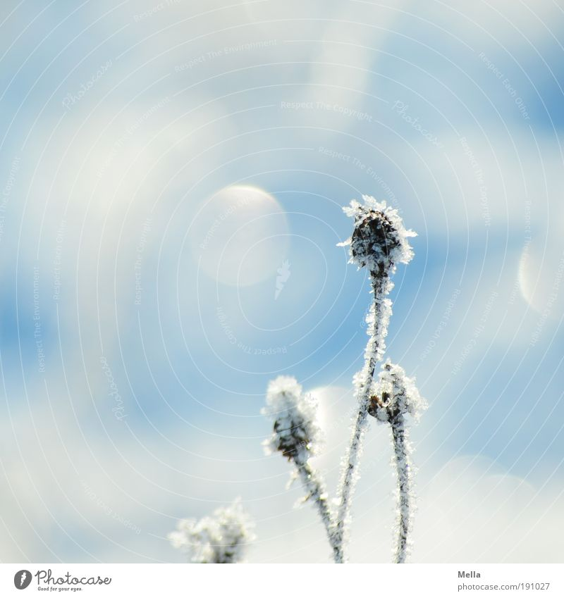 Nature White Flower Blue Plant Winter Cold Snow Meadow Grass Ice Bright Glittering Weather Environment Frost