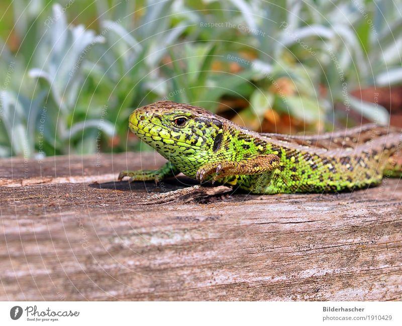 male lizard Lizards Wall lizard Sand lizard Saurians Sunbathing Reptiles Scales Dazzling Green Close-up Amphibian Animal Wild animal Spinal column Masculine