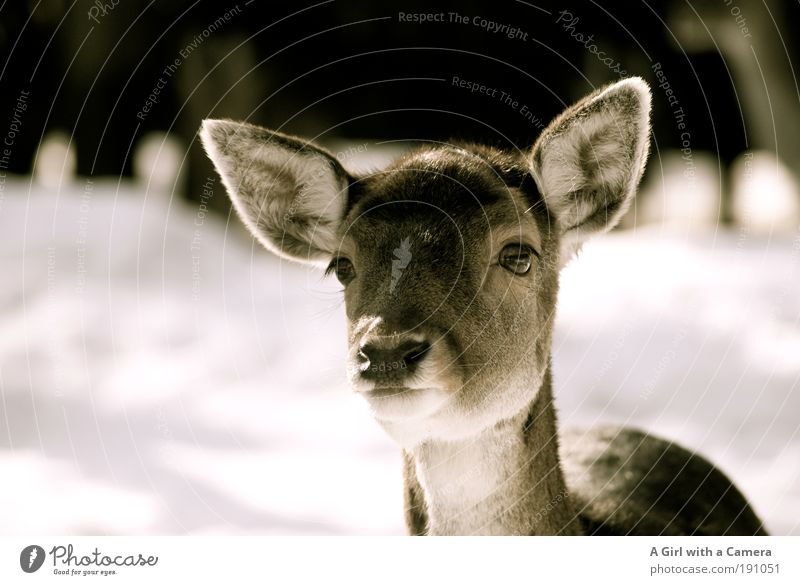 Beautiful Animal Calm Freedom Elegant Wild animal Cute Observe Curiosity Animal face Trust Light Zoo Listening Head Interest