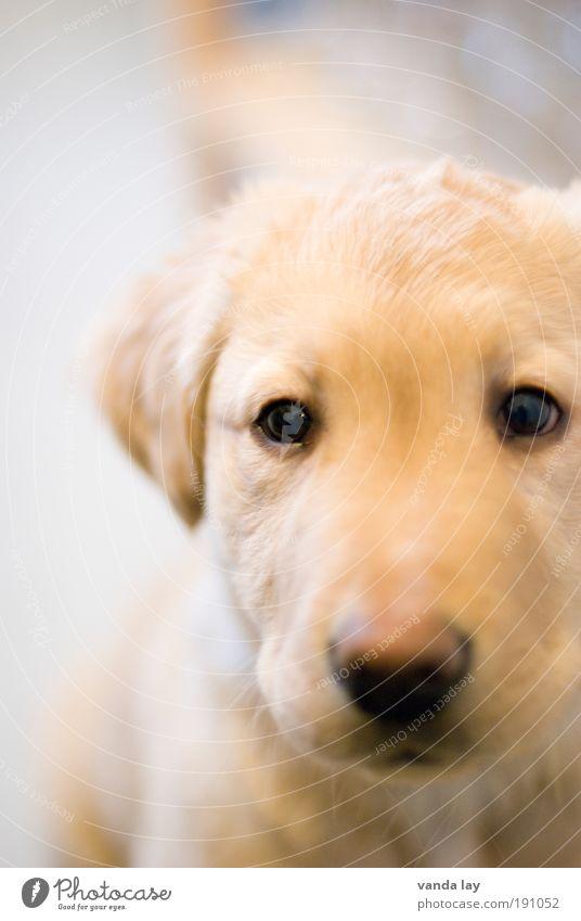 Beautiful Dog Animal Small Infancy Baby animal Gold Cute Curiosity Friendliness Trust Brash Pet Beige Labrador Love of animals
