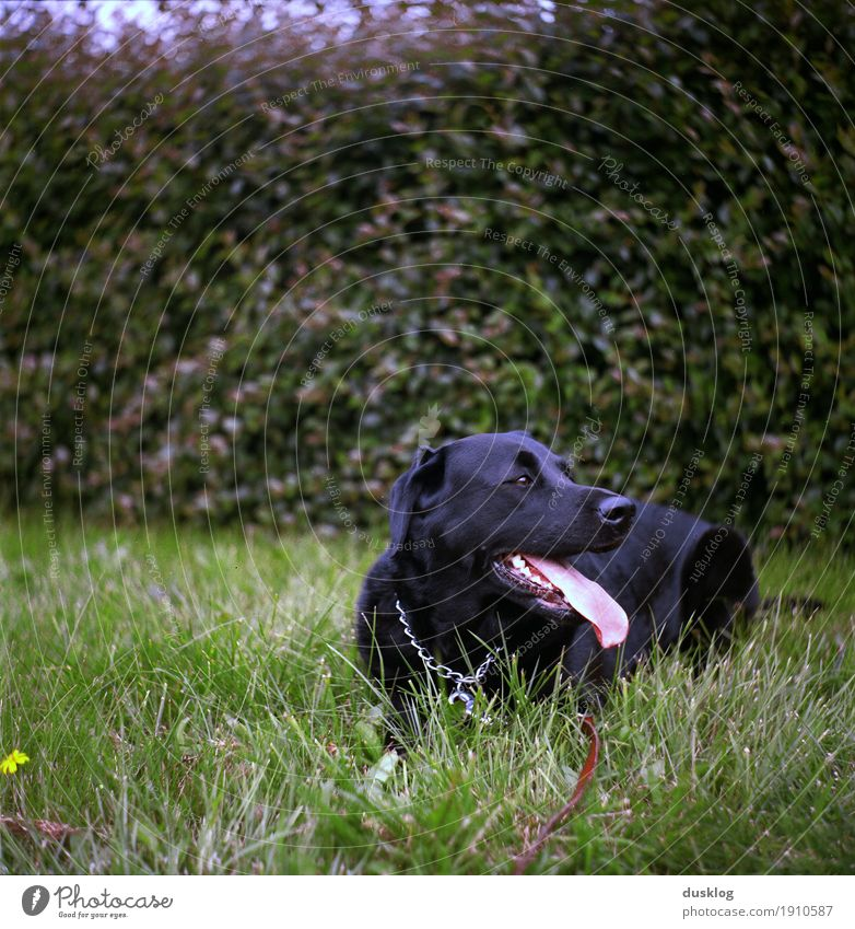 Labrador Nature Animal Grass Hedge Garden Park Pet Dog Animal face 1 Breathe To enjoy Happiness Black Walking Exterior shot Leisure and hobbies Friendship