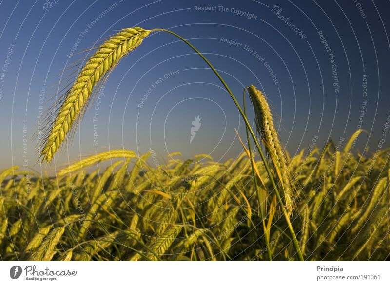 proud ear Summer Nature Landscape Plant Beautiful weather Agricultural crop Ear of corn Field Esthetic Moody Contentment Honor Colour photo Exterior shot