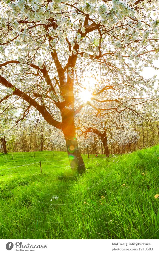 cherry tree Summer Environment Nature Landscape Plant Sun Sunrise Sunset Sunlight Spring Beautiful weather Warmth Garden Park Meadow Field Hill Alps Mountain