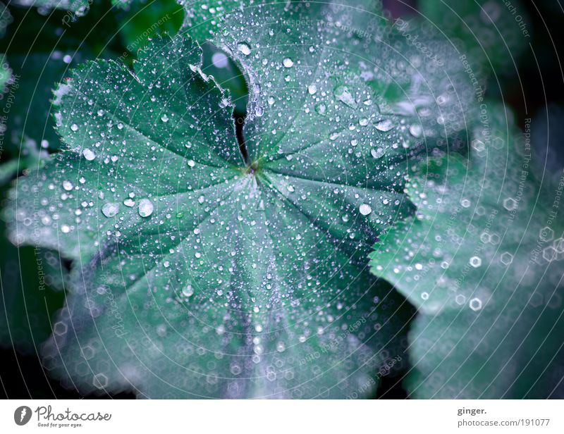 Lady's coat with sequins Nature Plant Rain Leaf Foliage plant Wet Green Alchemilla leaves Drops of water Moistened Line Undulating Dark green Near Reflection