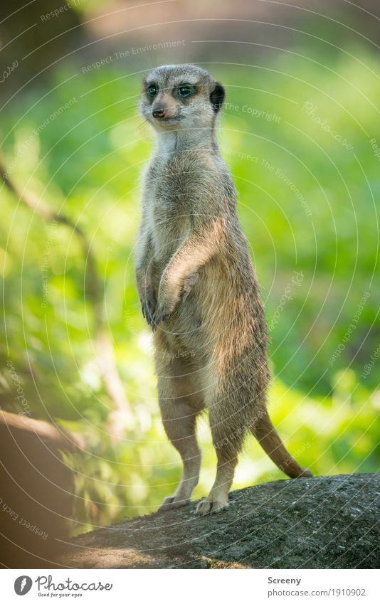 Little man, stretch yourself... Nature Plant Animal Summer Beautiful weather Wild animal Meerkat 1 Observe Stand Small Watchfulness Stretching Colour photo