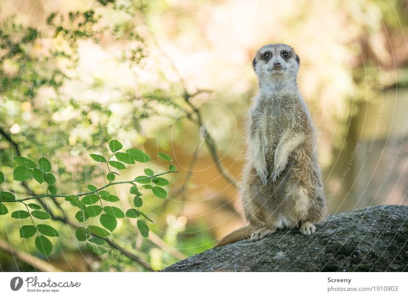 Dude, stop staring... Nature Plant Animal Sun Summer Beautiful weather Bushes Rock Wild animal Meerkat 1 Observe Looking Stand Small Watchfulness Eyes
