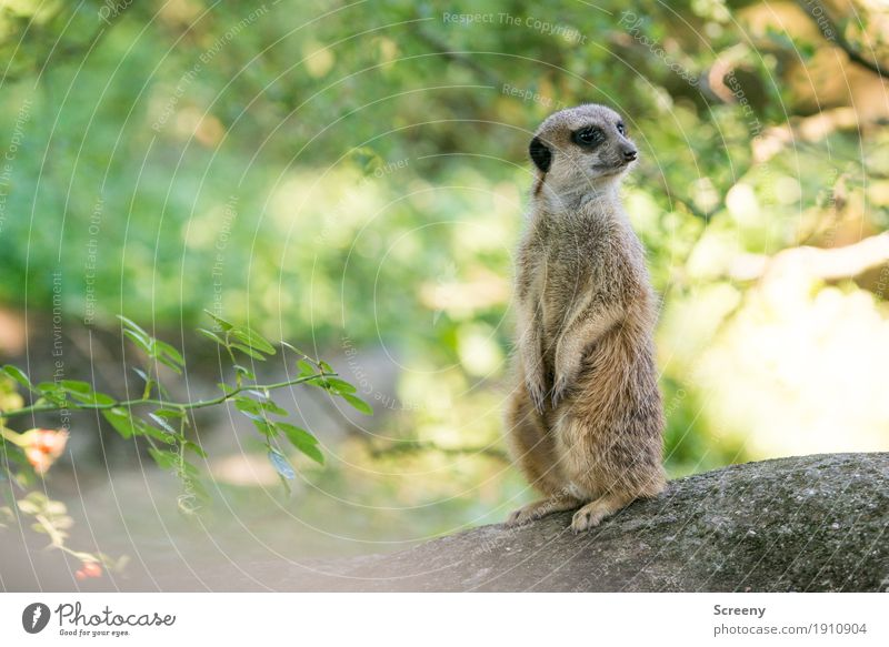 All quiet... Nature Plant Animal Summer Beautiful weather Tree Bushes Wild animal Meerkat 1 Observe Looking Sit Stand Small Watchfulness Colour photo