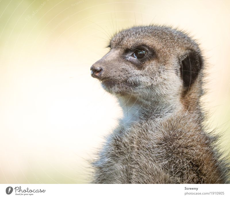 Sharp eye Nature Animal Wild animal Meerkat 1 Looking Small Curiosity Cute Watchfulness Eyes Colour photo Exterior shot Close-up Deserted Day Animal portrait