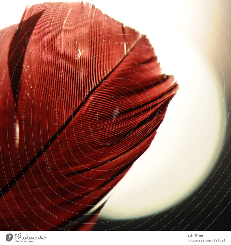 Fire feather reloaded Flamingo Esthetic Red Romance Hope Dream Passion Calm Feather Feather shaft Structures and shapes Detail Macro (Extreme close-up) Light