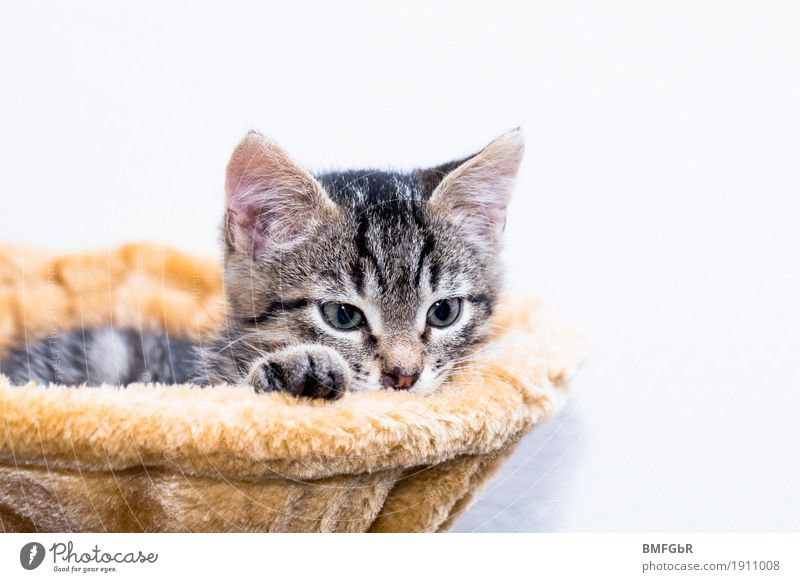 cat bed Animal Pet Cat Pelt Paw Domestic cat Mammal 1 Baby animal cat tree Lie Looking Dream Curiosity Cute Contentment Trust Safety (feeling of)