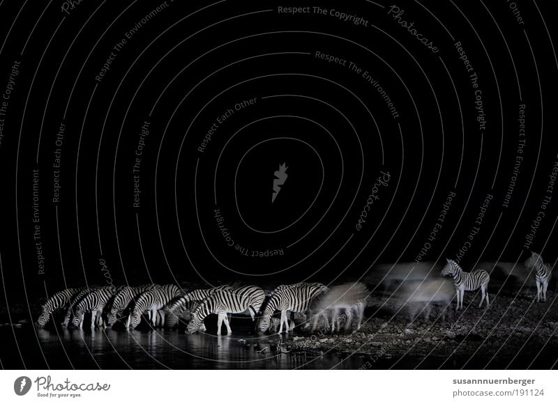 zebra Nature Lake Desert Wild animal Zebra Herd Drinking Safety Protection Friendship Esthetic Bizarre Chaos Uniqueness Freedom Power Pure Far-off places