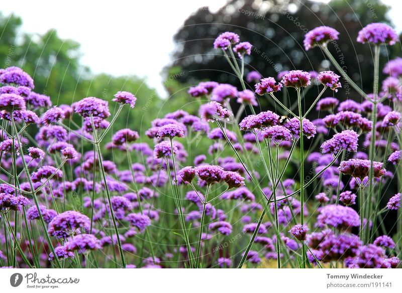 Verbena Bonariensis or the last of August Garden Gardening Environment Nature Landscape Plant Spring Summer Flower Bushes Blossom Wild plant Blossoming