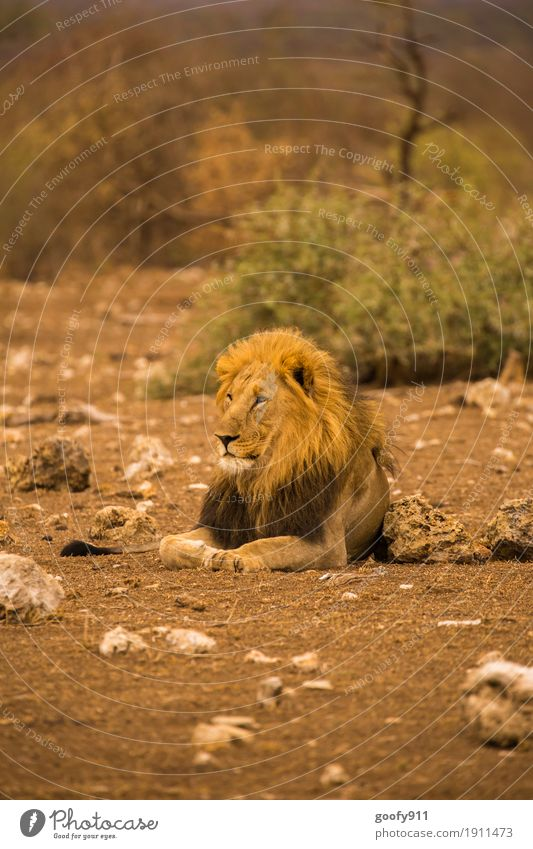 The King Environment Nature Landscape Elements Earth Sand Warmth Drought Desert National Park South Africa Animal Wild animal Animal face Claw Paw Lion