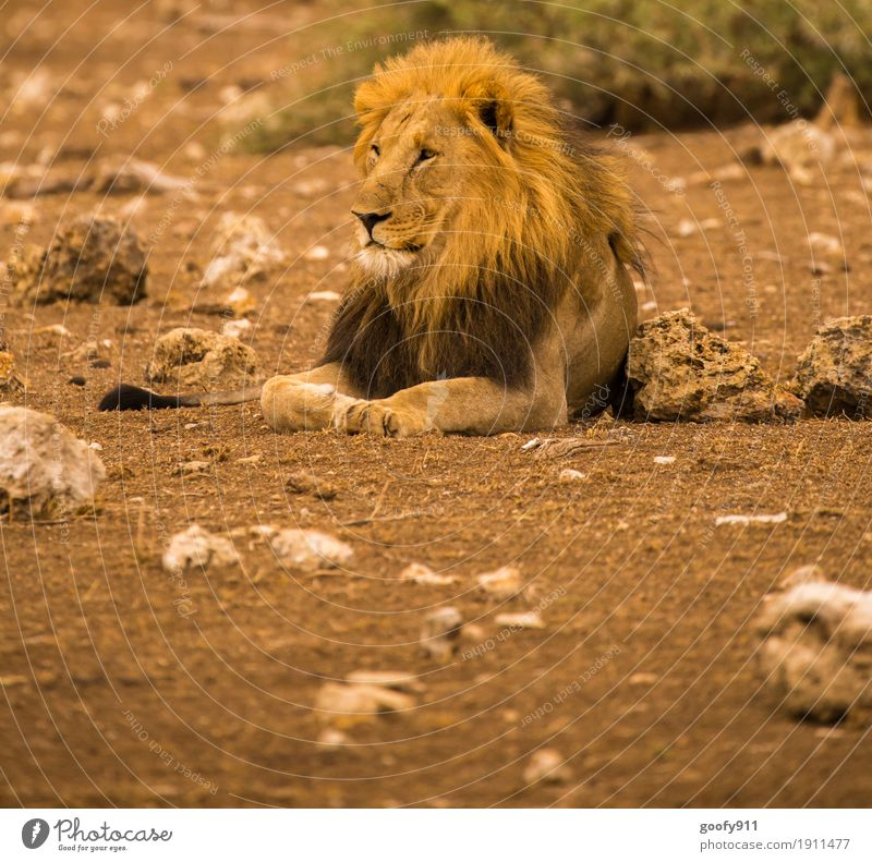 King II Environment Nature Landscape Elements Earth Sand Warmth Drought Desert National Park South Africa Animal Wild animal Animal face Pelt Claw Paw Lion