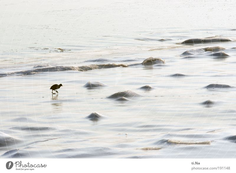 Break a leg, Lili! Environment Nature Landscape Water Winter Beautiful weather Ice Frost Coast North Sea Ocean Coot 1 Animal Walking Colour photo Subdued colour