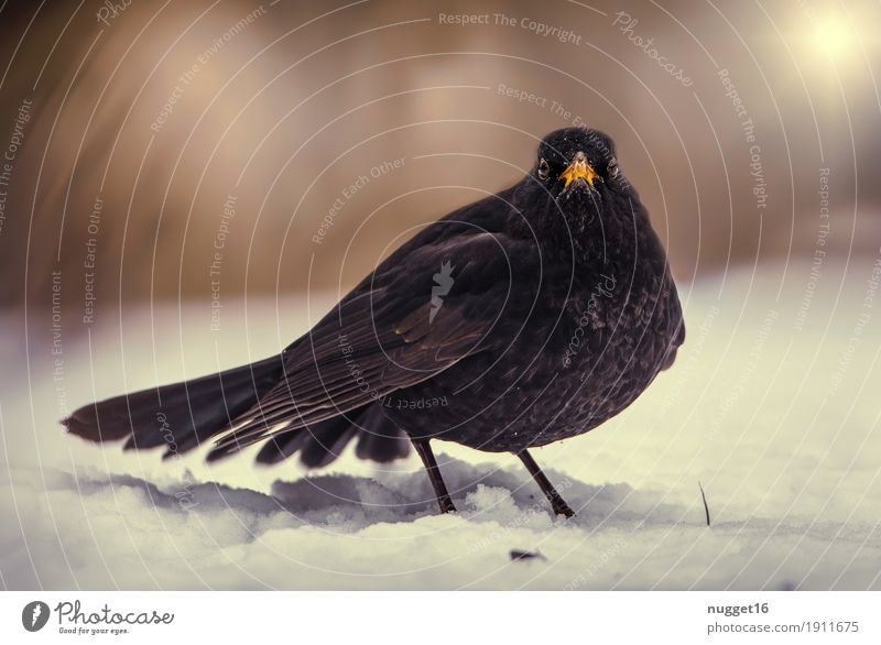 blackbird Environment Nature Animal Beautiful weather Ice Frost Snow Garden Park Forest Wild animal Bird Animal face Wing Zoo Blackbird 1 Observe Flying Stand