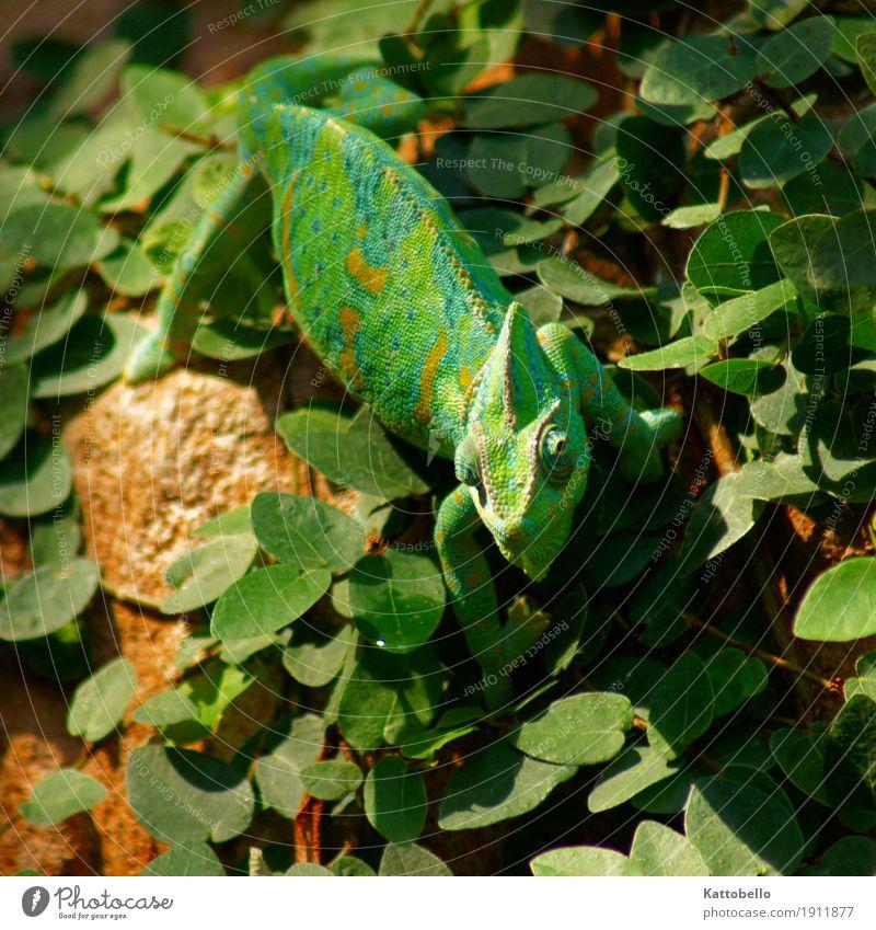 Yemen Chameleon (Chamaeleo calyptratus) Nature Foliage plant Animal Pet Wild animal Observe Hunting Exotic Green Colour photo Exterior shot Animal portrait