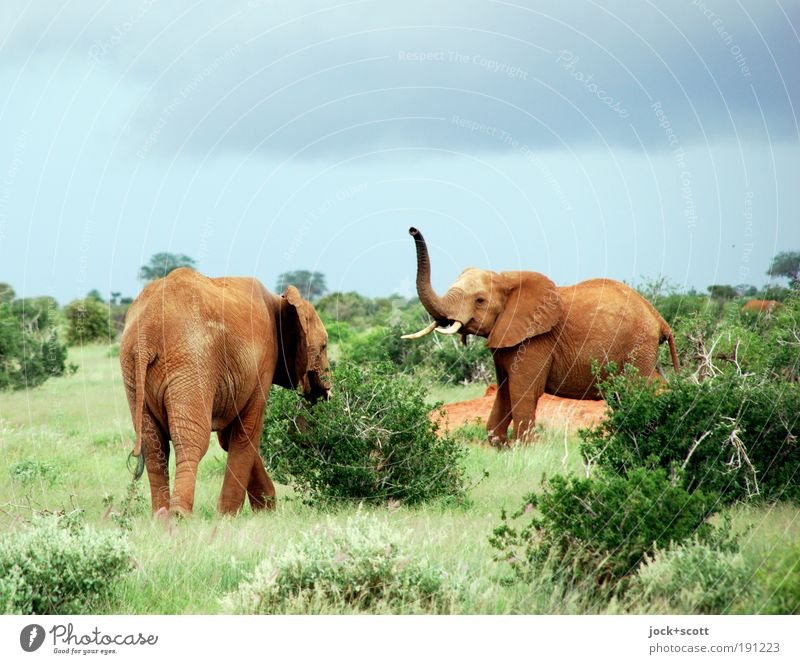 Jambo - jambo Safari Animal Sky Storm clouds bushes Exotic Savannah National Park Wild animal Elephant 2 Emotions Serene Idyll Communicate Welcome russian