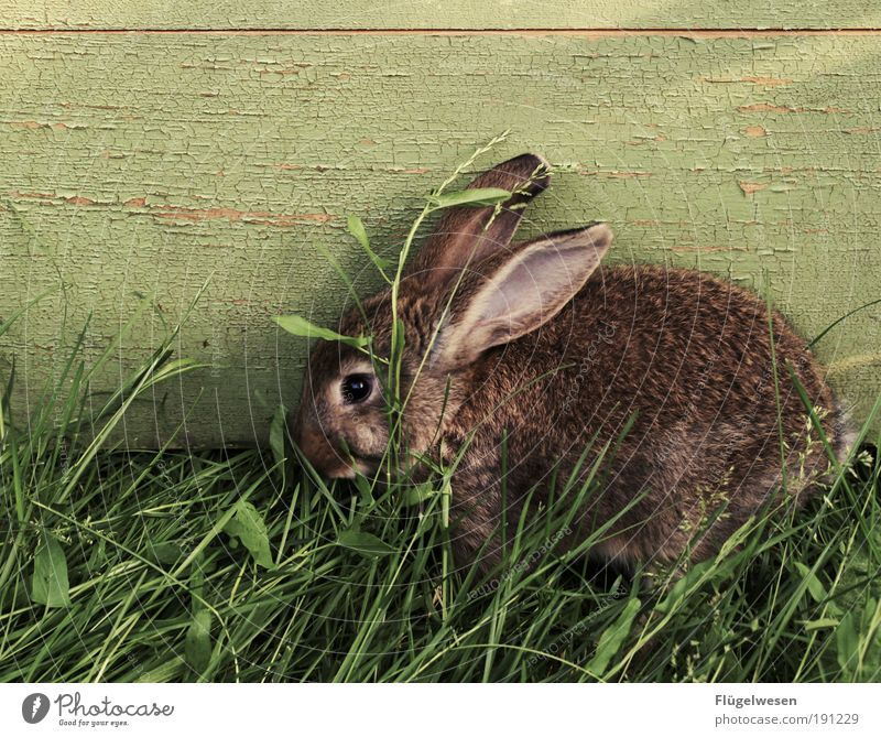 Animal Meadow Nutrition Grass Food Feasts & Celebrations Ear Easter 1 Friendliness Passion To enjoy Hide Hare & Rabbit & Bunny Well-being Pet